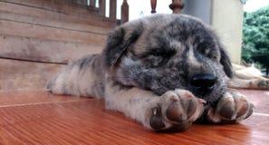 Chiot dormant sur le plancher carrelé photographie stock