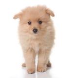 Chiot doux de Pomeranian coloré par Tan sur le blanc Photographie stock libre de droits