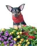 Chiot drôle dans une écharpe en couleurs d'isolement sur le blanc Thème de spr Images stock