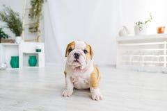 Chiot drôle de chien anglais de taureau sur le plancher regardant à l'appareil-photo Image stock