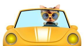 Chiot drôle dans le cabriolet avec des lunettes de soleil Photos stock