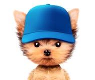 Chiot drôle dans le chapeau de base-ball d'isolement sur le blanc Images stock