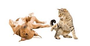 Chiot drôle de pitbull et chat espiègle jouant ensemble Images libres de droits