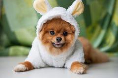 Chiot drôle de Pomeranian habillé comme agneau Photo stock
