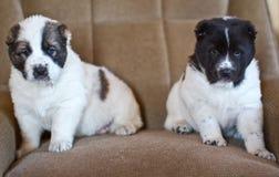 Chiot du chien de berger asiatique central Photos libres de droits