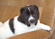 Chiot du chien de berger asiatique central Image libre de droits