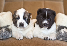 Chiot du chien de berger asiatique central Images libres de droits