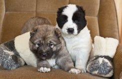 Chiot du chien de berger asiatique central Photos stock