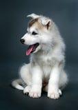 Chiot du chien de traîneau sibérien Photo stock