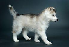 Chiot du chien de traîneau sibérien Photos libres de droits