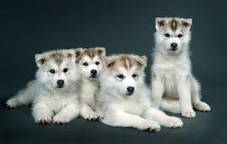 Chiot du chien de traîneau sibérien Image stock