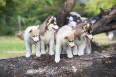 Chiot du chien de traîneau sibérien Images stock