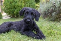 Chiot du chien noir géant de Schnauzer adorable regardant le camer Photographie stock
