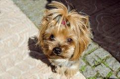 Chiot du chien terrier de Yorkshire Photographie stock libre de droits
