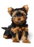 Chiot du chien terrier de Yorkshire d'isolement sur le blanc Image stock