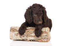 Chiot enduit bouclé de chien d'arrêt Photo libre de droits