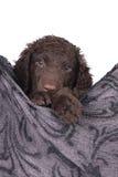 Chiot enduit bouclé de chien d'arrêt Images stock