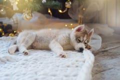 Chiot enroué dormant, vacances de nouvelle année Photo stock