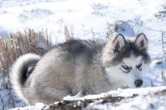 Chiot enroué, gris, SIBÉRIEN, jeu, chien, yeux bleus, pelucheux Photographie stock