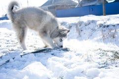 Chiot enroué, gris, SIBÉRIEN, jeu, chien, yeux bleus, pelucheux Photo libre de droits