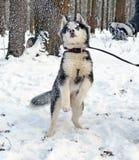 Chiot enroué jouant avec la neige 2 Photo libre de droits