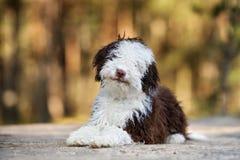 Chiot espagnol de chien d'eau posant dehors Photographie stock