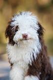 Chiot espagnol de chien d'eau posant dehors Photo libre de droits