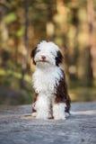 Chiot espagnol de chien d'eau posant dehors Photos stock