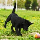 Chiot espiègle de Labrador de chien noir jouant avec une boule dans le résumé Photos libres de droits
