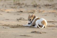 Chiot espiègle de whippet à la plage Images libres de droits