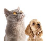 Chiot et chat britannique Image libre de droits