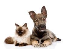 Chiot et chat siamois ensemble Sur le fond blanc Photo stock