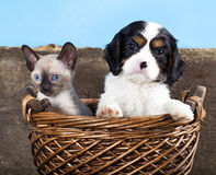 Chiot et chaton Photo stock