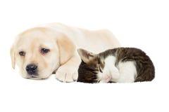 Chiot et chaton beiges Photographie stock