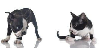 Chiot et chaton de chien terrier de Boston Photographie stock