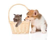 Chiot et chaton de Pembroke Welsh Corgi dans le panier D'isolement sur le blanc Image libre de droits