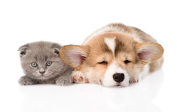 Chiot et chaton de sommeil Pembroke Welsh Corgi D'isolement sur le blanc Photographie stock