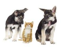 Chiot et chaton ensemble Photos stock