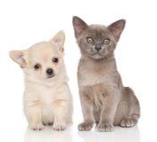 Chiot et chaton sur le fond blanc Photographie stock