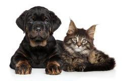 Chiot et chaton sur un fond blanc Images stock