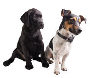 Chiot et cric noirs Russel de labrador retriever Photos libres de droits