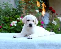 Chiot et fleur de Labrador photographie stock