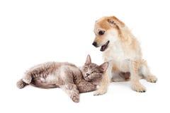 Chiot et Kitten Together mignons de Terrier Photo stock