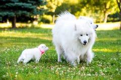 Chiot et parents de Samoyed Images stock