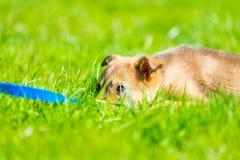 Chiot fatigué se reposant dans l'herbe verte luxuriante Photo libre de droits