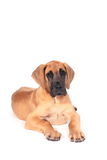 Chiot Fawn Great Dane Image stock
