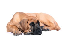 Chiot Fawn Great Dane Images stock