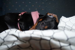 Chiot femelle de teckel, Bailey Image libre de droits