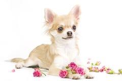 chiot gentil de chiwawa avec des roses Photo libre de droits