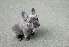 Chiot gris d'un bouledogue français sur un fond gris Petit chien mignon de bébé images stock